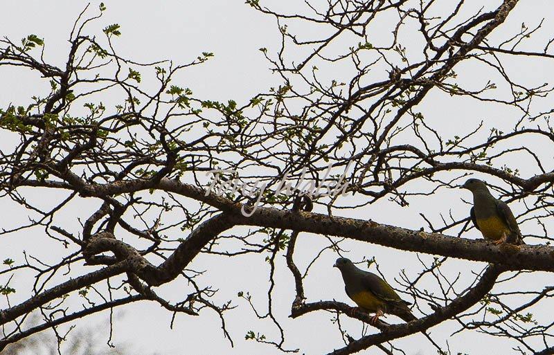 Bruces Green Pigeon Salalah