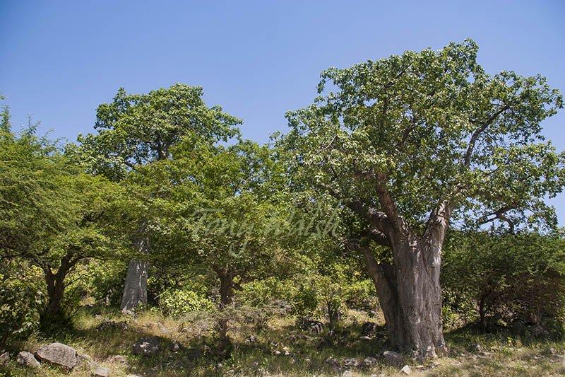 Baobab Trees Dhofar