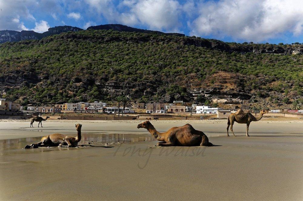 Camels on a Dhofari Beach