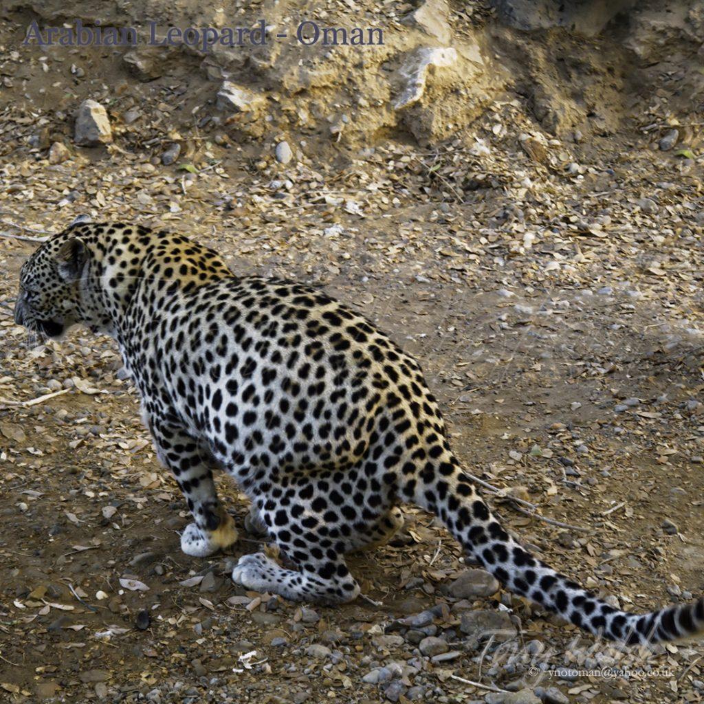Arabian Leopard Scentmarks Oman