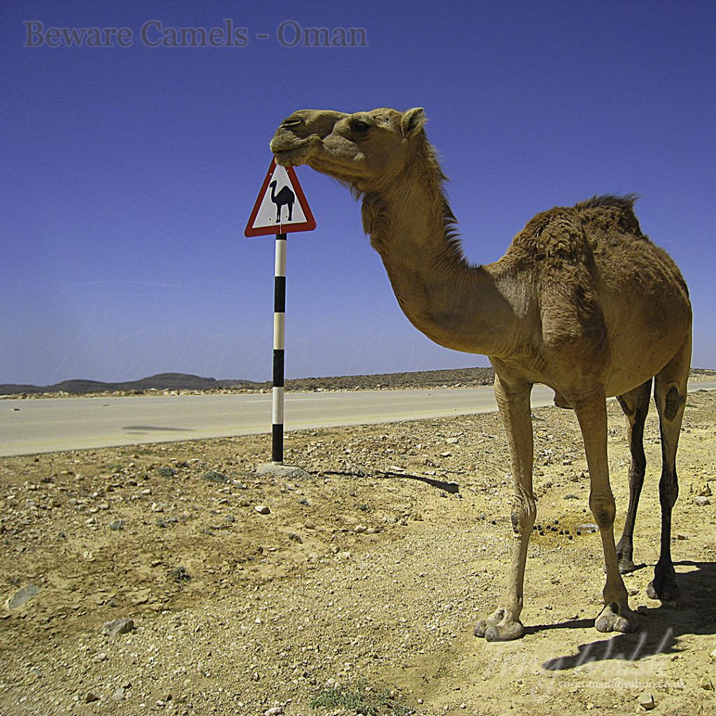 Beware Camels Oman