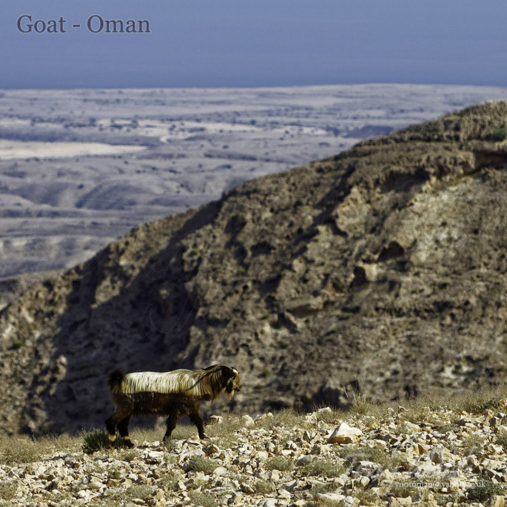 Goat Oman