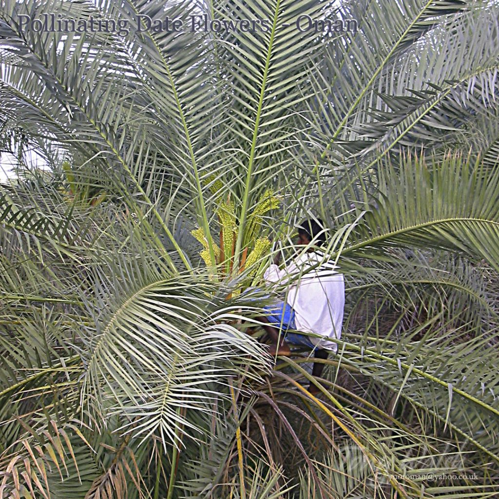 Pollinating Date Flowers Oman