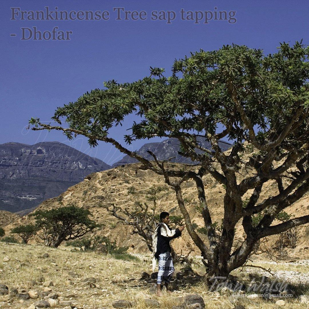 Frankincense Tree Dhofar