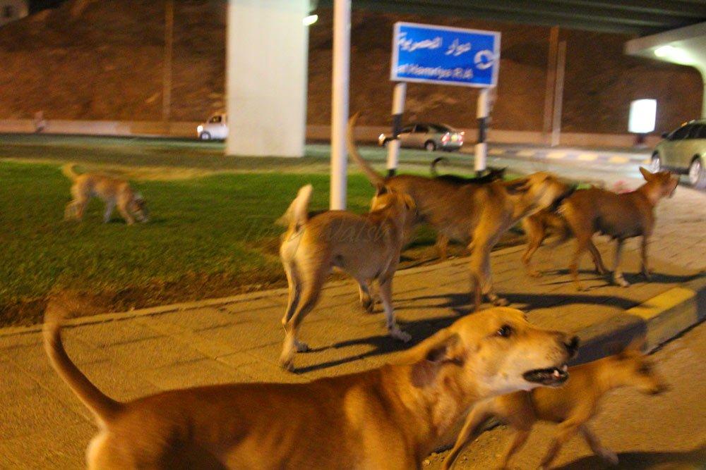 Dogs of Hamriyah Roundabout
