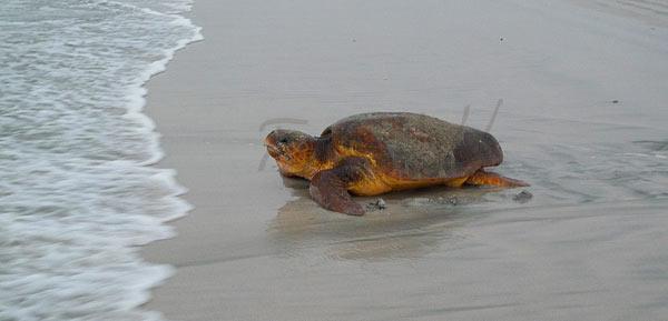 Loggerhead Turtle Oman