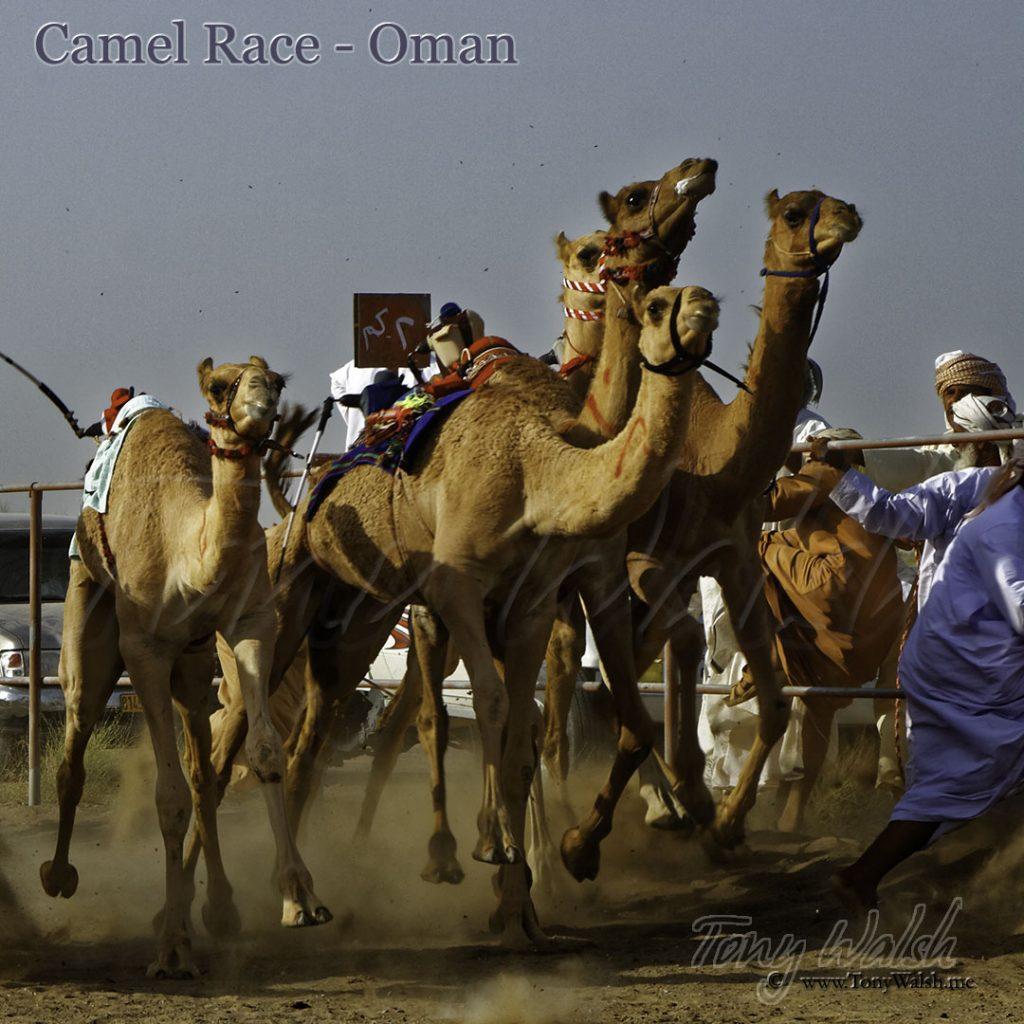 Camel Race Oman